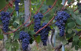 great grape pic