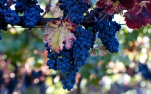 blue-grapes-wallpaper